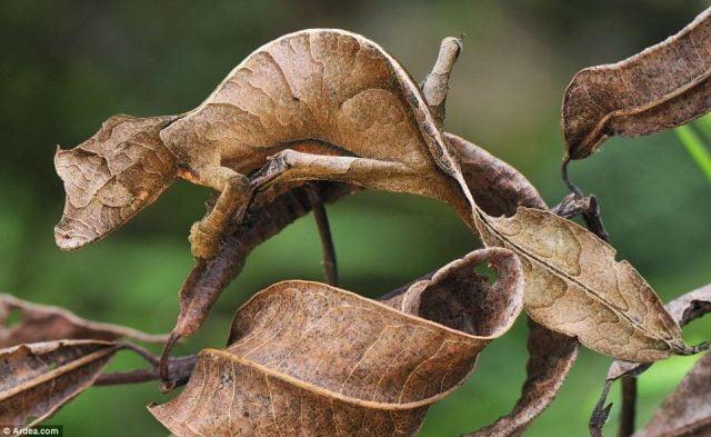 Satanic leaf tailed geckos 01[4]